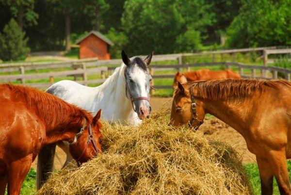 Основные правила кормления лошадей - фото Horses-Eating-Straw.883915_std, главная Рацион , конный журнал EquiLIfe