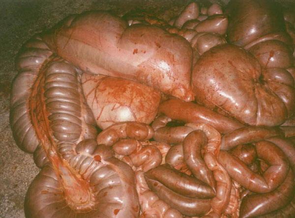 Заболевания желудочно-кишечного тракта у лошадей - фото -вид-кишечника-при-остром-сальмонеллезе, главная Здоровье лошади , конный журнал EquiLIfe
