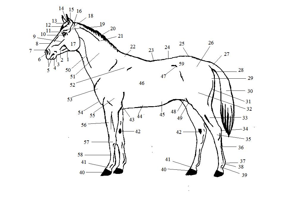 Краткий курс анатомии лошади. Часть 1: стати лошади, направления и плоскости. - фото -лошади, главная Лошадь Разное , конный журнал EquiLIfe
