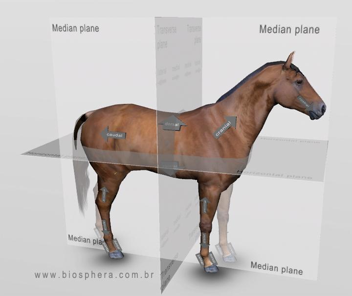 Краткий курс анатомии лошади. Часть 1: стати лошади, направления и плоскости. - фото veterinary-equine-anatomic-planes, главная Лошадь Разное , конный журнал EquiLIfe