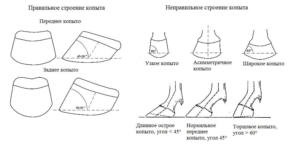 Краткий курс анатомии лошади. Часть 2: Кожа и копыта - фото , главная Копыта , конный журнал EquiLIfe