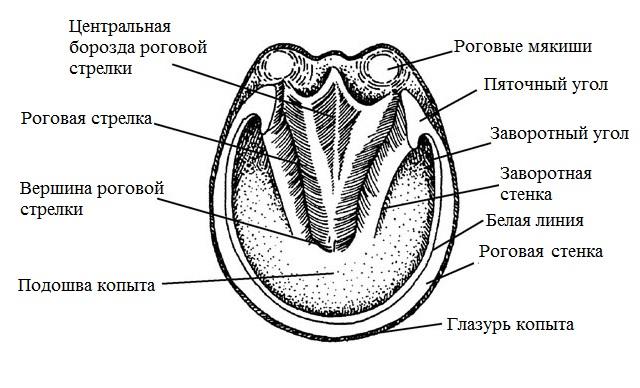 Краткий курс анатомии лошади. Часть 2: Кожа и копыта - фото -вид-снизу, главная Копыта , конный журнал EquiLIfe