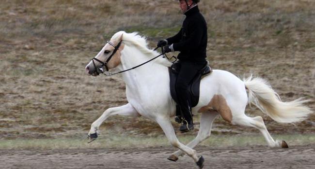 Откуда взялась иноходь - фото inoh566, главная Конные истории , конный журнал EquiLIfe