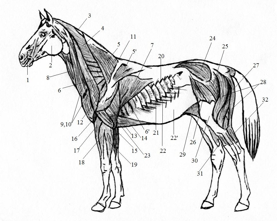 Краткий курс анатомии лошади. Часть 3: Опорно-двигательный аппарат - скелет, мышцы, связки и сухожилия - фото , главная Лошадь , конный журнал EquiLIfe