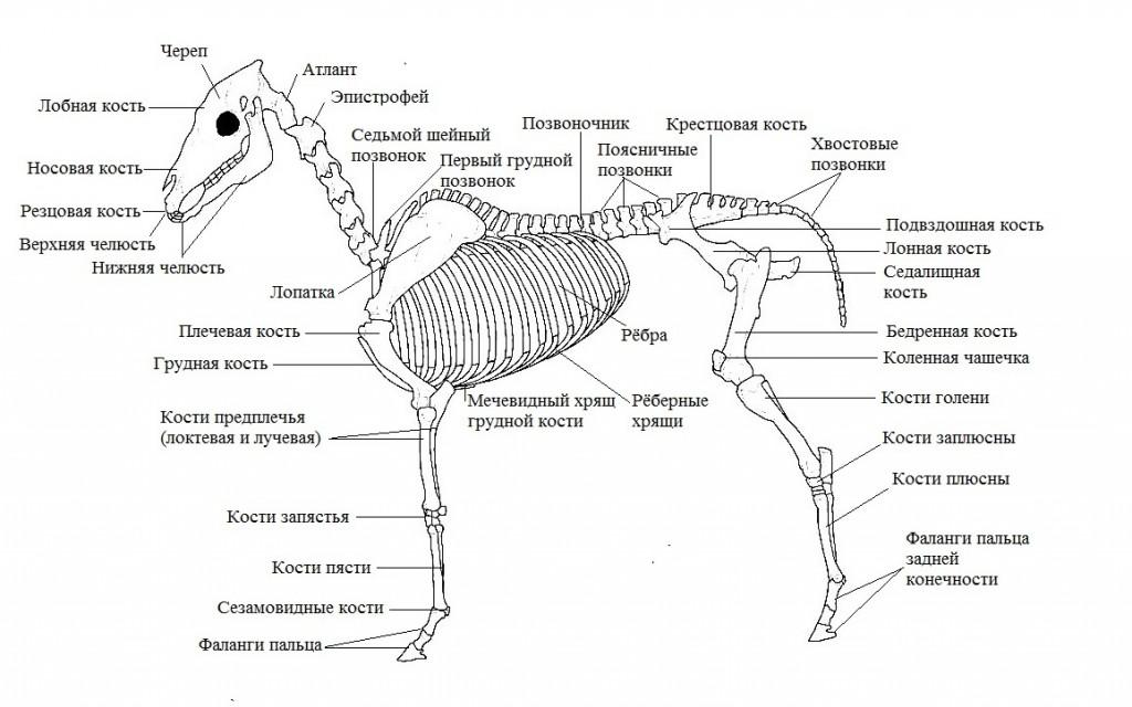 Краткий курс анатомии лошади. Часть 3: Опорно-двигательный аппарат - скелет, мышцы, связки и сухожилия - фото 1-1024x640, главная Лошадь , конный журнал EquiLIfe