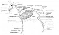 скелет1