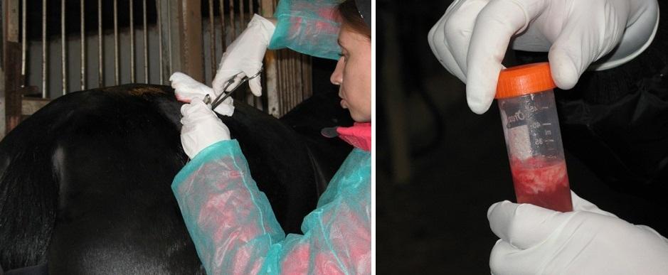 Клеточная терапия. Просто о сложном - фото 11, главная Здоровье лошади , конный журнал EquiLIfe