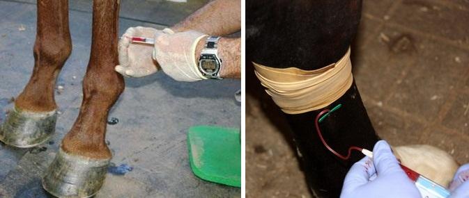 Клеточная терапия. Просто о сложном - фото 15, главная Здоровье лошади , конный журнал EquiLIfe