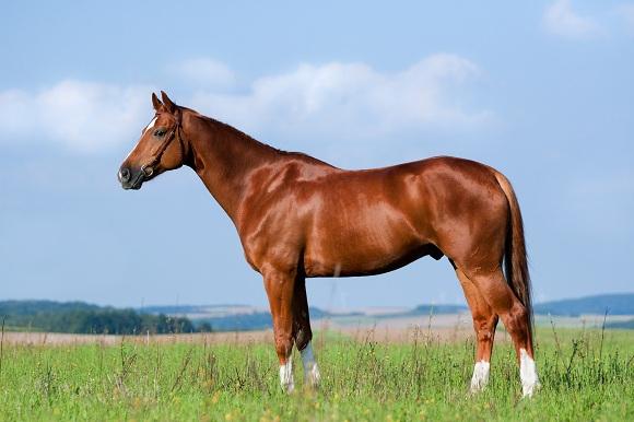 Краткий курс анатомии лошади. Часть 2: Кожа и копыта - фото Pferd_Warmblut_Fuchs_Deutsch_Sportpferd_Verkaufspferd_Exterieur_Stand_13222770_xl-kl2, главная Копыта , конный журнал EquiLIfe