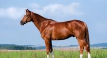 Pferd_Warmblut_Fuchs_Deutsch_Sportpferd_Verkaufspferd_Exterieur_Stand_13222770_xl-kl2