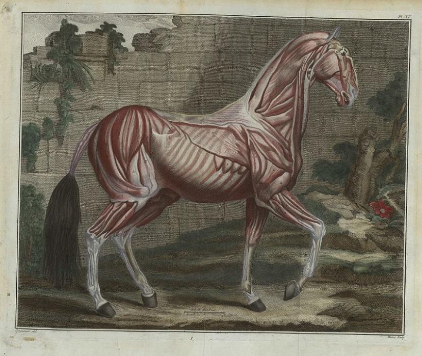 Краткий курс анатомии лошади. Часть 3: Опорно-двигательный аппарат - скелет, мышцы, связки и сухожилия - фото r1704_9_myologielafosse-2, главная Лошадь , конный журнал EquiLIfe