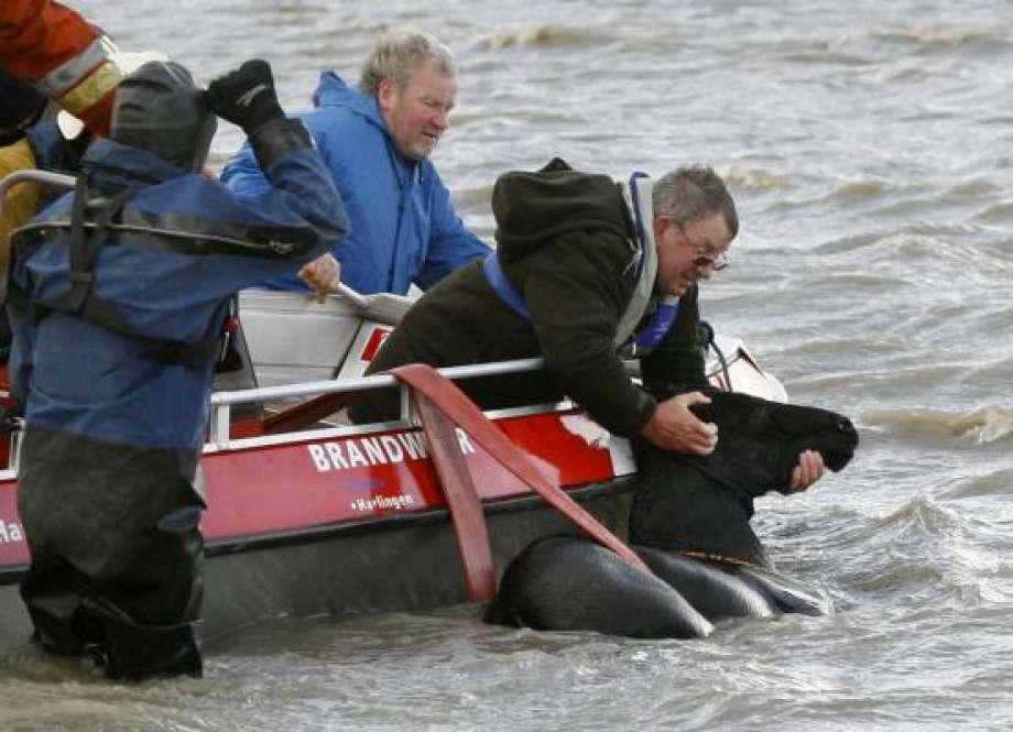 Как женщины спасли табун во время наводнения в Голландии. - фото 920x920, главная Разное , конный журнал EquiLIfe