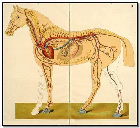 Краткий курс анатомии лошади. Часть 4: Сердечно-сосудистая и лимфатическая системы - фото CirculatoryHHH, главная Лошадь , конный журнал EquiLIfe