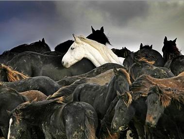 Как женщины спасли табун во время наводнения в Голландии. - фото Horse-Rescue-4, главная Разное , конный журнал EquiLIfe