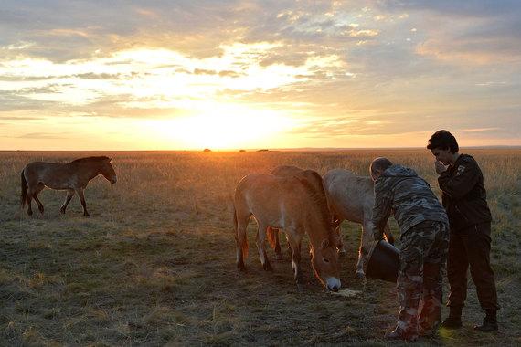 Владимир Путин выпустил на волю лошадей Пржевальского - фото default-1kkr, Новости События , конный журнал EquiLIfe