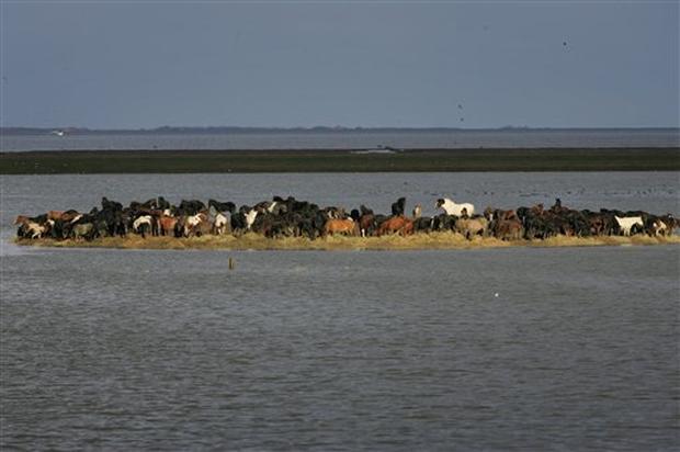 Как женщины спасли табун во время наводнения в Голландии. - фото image2150377, главная Разное , конный журнал EquiLIfe