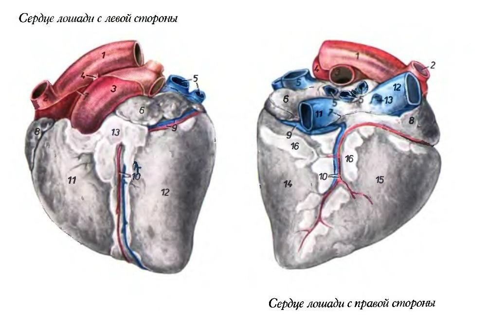 Краткий курс анатомии лошади. Часть 4: Сердечно-сосудистая и лимфатическая системы - фото serdtse_loshadi, главная Лошадь , конный журнал EquiLIfe