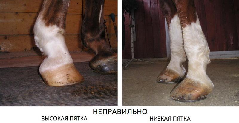 Традиционная расчистка копыт лошади - фото -расчистка-копыт, главная Копыта , конный журнал EquiLIfe