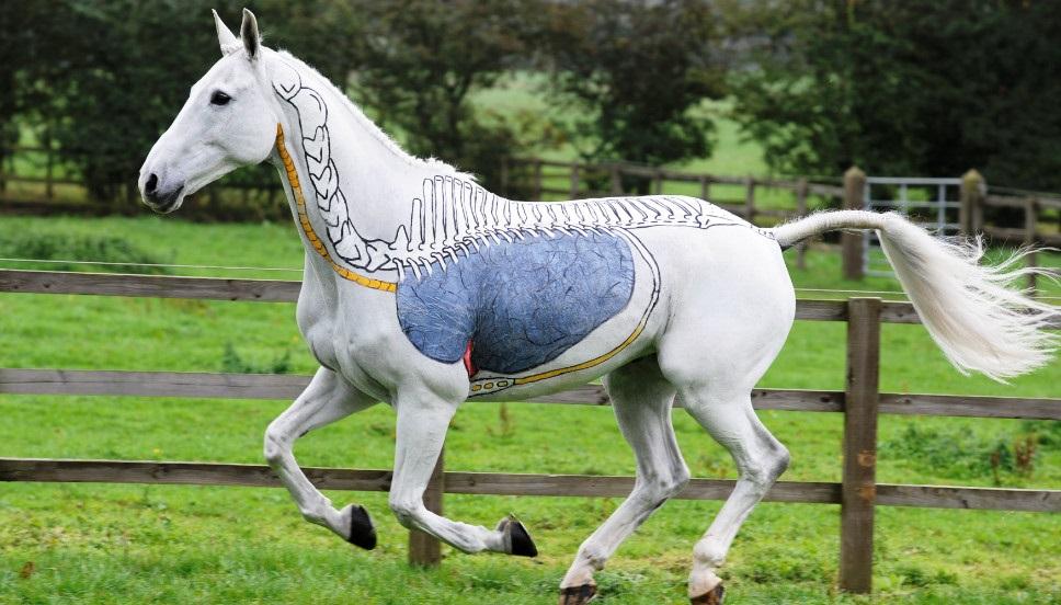 Краткий курс анатомии лошади. Часть 5: Дыхательная система - фото 121206063133-equine-massage-respiratory-horizontal-large-gallery, главная Здоровье лошади Лошадь , конный журнал EquiLIfe