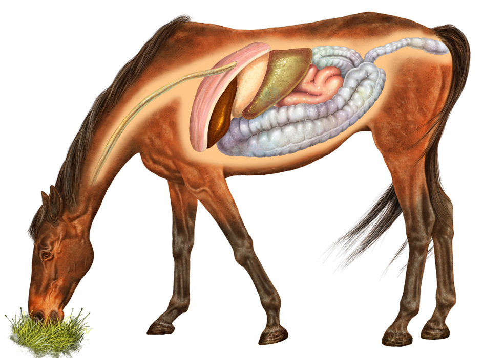 Краткий курс анатомии лошади. Часть 6: Пищеварительная система - фото horse-digestive-system, главная Лошадь , конный журнал EquiLIfe