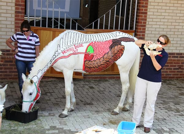 Краткий курс анатомии лошади. Часть 6: Пищеварительная система - фото horses_inside_out2, главная Лошадь , конный журнал EquiLIfe