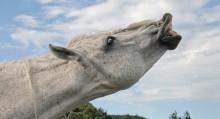 Flehmen-Response-Horse