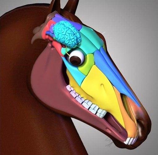 Краткий курс анатомии лошади. Часть 8: Нервная система и органы чувств - фото t11y-eDmEoM, главная Лошадь , конный журнал EquiLIfe