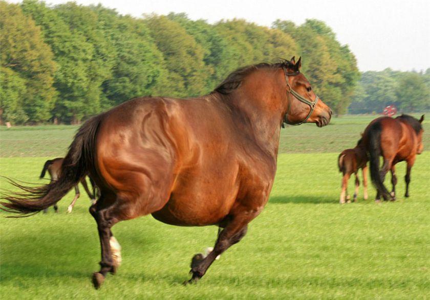 Как бороться с ожирением лошади - фото 122, главная Здоровье лошади Рацион Тренинг , конный журнал EquiLIfe