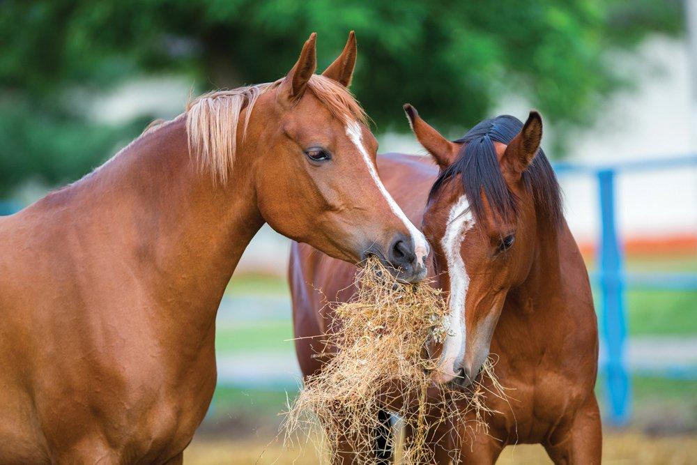 Основные кормовые средства для лошадей - фото Two-Arabian-horses-eating-h, главная Рацион , конный журнал EquiLIfe