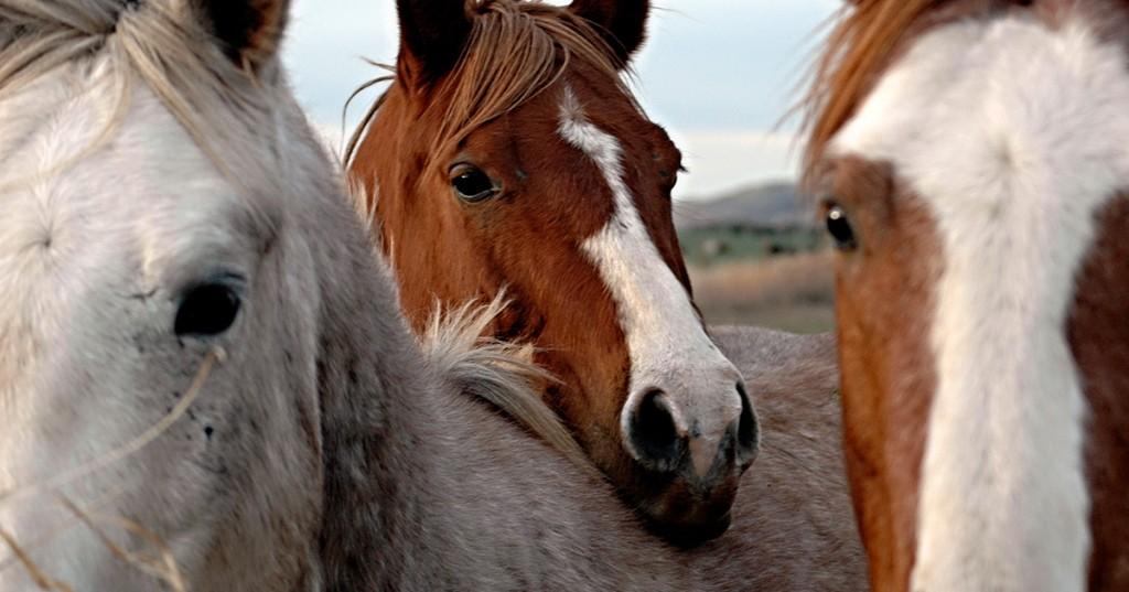 """Спасти неспасаемое или """"русские не сдаются""""! Эвтаназия. Усыпить лошадь. - фото 2-1024x537, главная Конные истории Разное Содержание лошади , конный журнал EquiLIfe"""