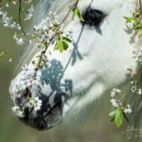Фотограф Катаржина Окрещик-Миколаек (Katarzyna Okrzesik-Mikolajek) - фото 15-200x200, главная Интересное о лошади Фото , конный журнал EquiLIfe