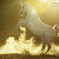 Фотограф Катаржина Окрещик-Миколаек (Katarzyna Okrzesik-Mikolajek) - фото Katarzyna-Okrzesik-Arabian-stallion-2-200x200, главная Интересное о лошади Фото , конный журнал EquiLIfe