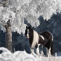 Фотограф Катаржина Окрещик-Миколаек (Katarzyna Okrzesik-Mikolajek) - фото horse-Katarzyna-Okrzesik-snow-horse-01-200x200, главная Интересное о лошади Фото , конный журнал EquiLIfe