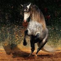 Фотограф Войтек Квятковский (Wojtek Kwiatkowski) - фото Arab_17-200x200, главная Фото , конный журнал EquiLIfe