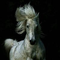 Фотограф Войтек Квятковский (Wojtek Kwiatkowski) - фото Arab_24-200x200, главная Фото , конный журнал EquiLIfe