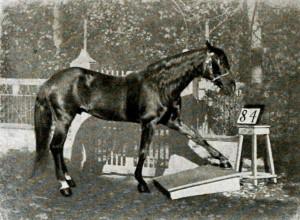 Hans_am_Tretbrett - фото Hans_am_Tretbrett-300x220, , конный журнал EquiLIfe