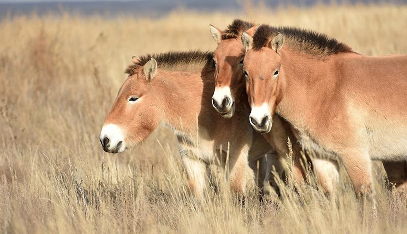 В заповедник «Оренбургский» прибыла третья группа лошадей Пржевальского - фото 67e4742f5965adcb315b76bc5b996fb8, главная Новости , конный журнал EquiLIfe
