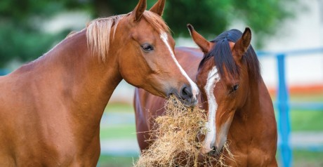 Two-Arabian-horses-eating-h