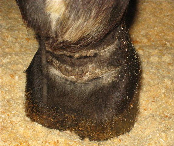 Вся ПРАВДА О МОКРЕЦАХ 1. Страшна ли грязь? - фото 1384222092_2b8ec855b9e0, главная Здоровье лошади Копыта , конный журнал EquiLIfe