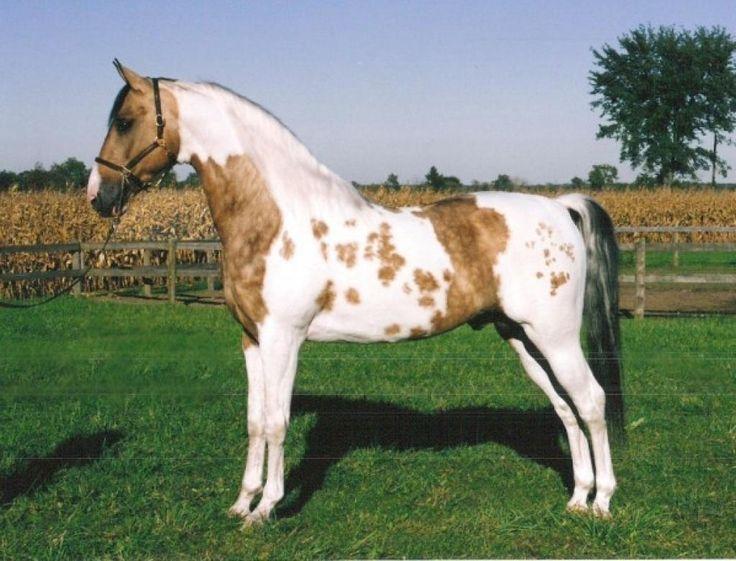 Разнообразие мастей лошадей - фото buckskin-pinto-horse1, главная Интересное о лошади Разное , конный журнал EquiLIfe