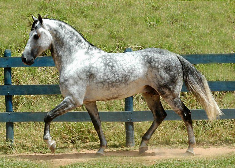 Разнообразие мастей лошадей - фото dappled-gray-horse-768x549, главная Интересное о лошади Разное , конный журнал EquiLIfe