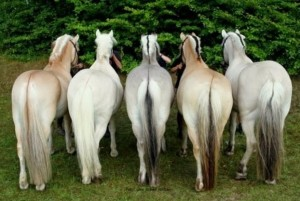 fiordo5 - фото fiordo5-300x201, , конный журнал EquiLIfe