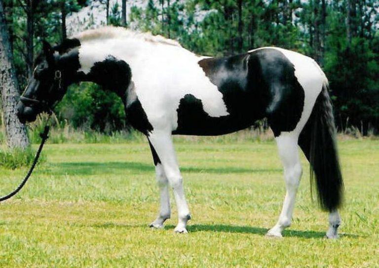 Разнообразие мастей лошадей - фото pinto-horse-jpeg-768x5431, главная Интересное о лошади Разное , конный журнал EquiLIfe