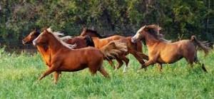 Ферма по разведению арабских лошадей в Помоне - фото imagesMITZNN331-300x139, Конюшня Разное , конный журнал EquiLIfe