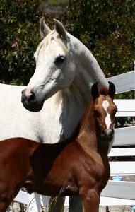 Ферма по разведению арабских лошадей в Помоне - фото original-191x300, Конюшня Разное , конный журнал EquiLIfe