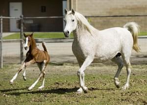 Ферма по разведению арабских лошадей в Помоне - фото picture_of_day_640x480_1250-300x215, Конюшня Разное , конный журнал EquiLIfe