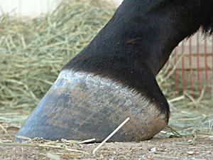 Увлажнение копыт. Ответ на вопрос - фото Belle_GalleryLFSide, главная Копыта , конный журнал EquiLIfe