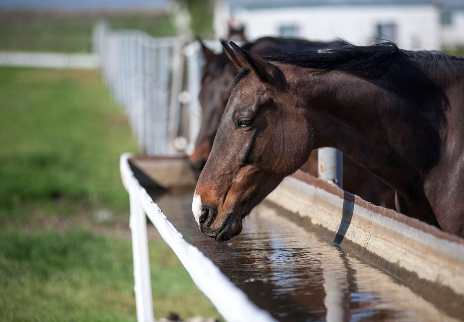Обезвоживание: как поддержать водный баланс лошади в жару - фото Loshadi-pyut-vodu, главная Здоровье лошади Разное Рацион , конный журнал EquiLIfe