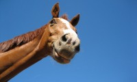 Horse_smile_by_Ma_aikeh