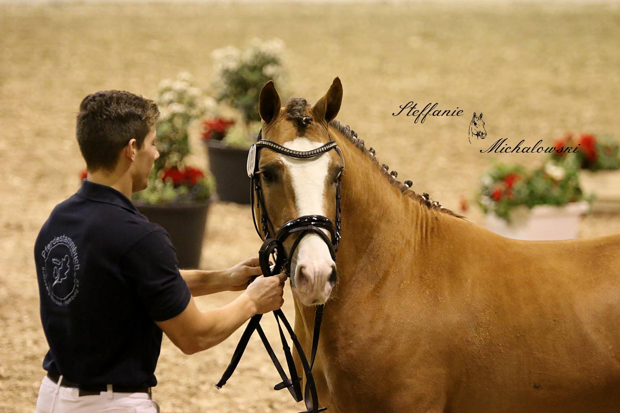 Бонитировка лошадей: экстерьер, движения и интерьер  - фото pferdundhund_koerung_ct_bumblebee_3, главная Лошадь , конный журнал EquiLIfe
